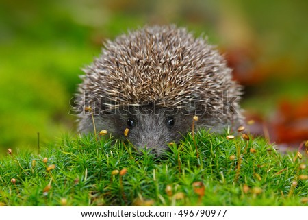 West European Hedgehog in green moss with orange background during autumn