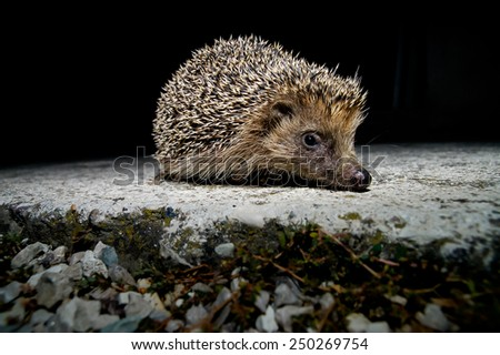 West European Hedgehog Wild Mammal (Erinaceus Europaeus) - stock photo