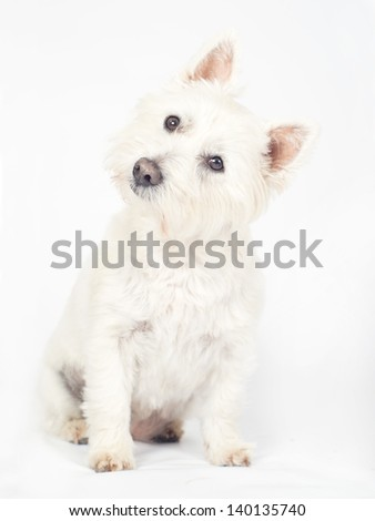 West Highland Terrier on an Off white background - stock photo