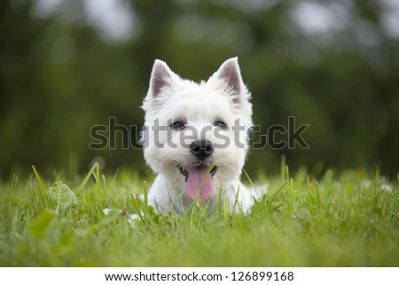 West Highland Terrier puppy - stock photo