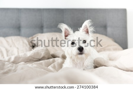 West Highland Terrier Puppy on Human Bed
