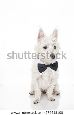 West Highland Terrier Puppy Wearing Black Bow Tie on White Background