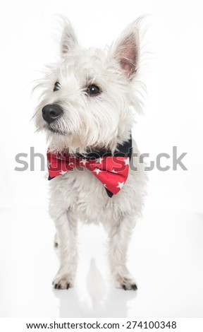 West Highland Terrier Puppy Wearing Red Bow Tie on White Background