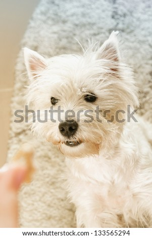 West highland terrier receiveing a treat.