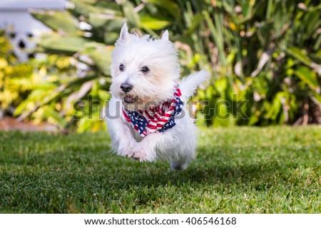 West Highland Terrier running - stock photo