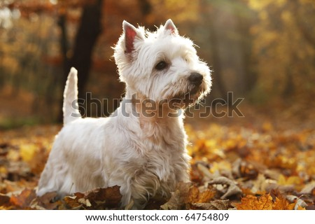 West Highland White Terrier - autumn scene lit by setting sun - stock photo