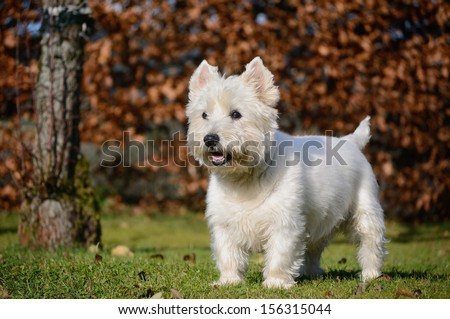 West Highland White Terrier dog - stock photo