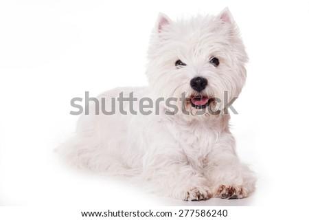West Highland White Terrier dog  isolated on white - stock photo