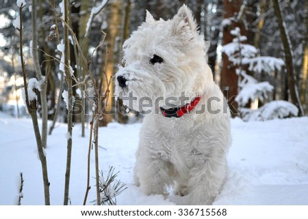 West Highland White Terrier in winter forest. - stock photo