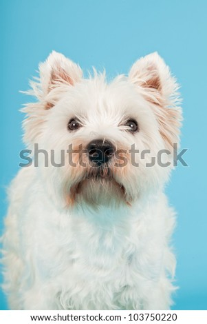 West Highland White Terrier isolated on light blue background. Studio shot.