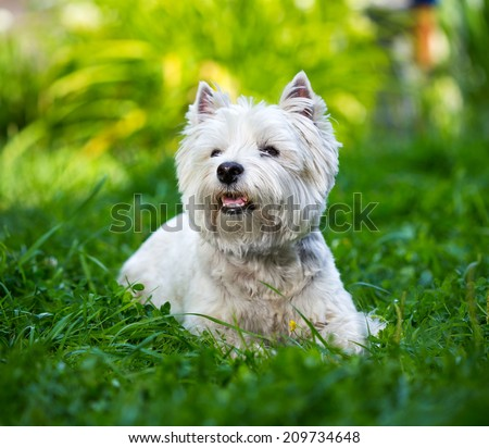 West Highland White Terrier lies in green grass - stock photo