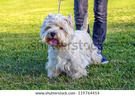 West Highland White Terrier on a green meadow - stock photo