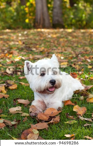 West highland white terrier on the green grass - stock photo