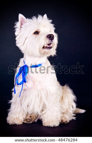 West Highland White Terrier over black background - stock photo