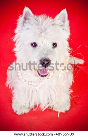 West Highland White Terrier over red background