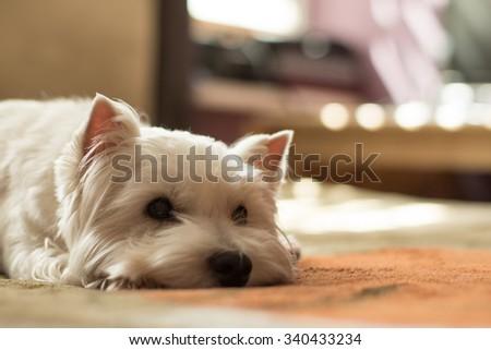 West highland white terrier portrait - stock photo