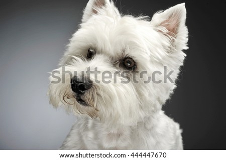 west highland white terrier portraits in studio - stock photo