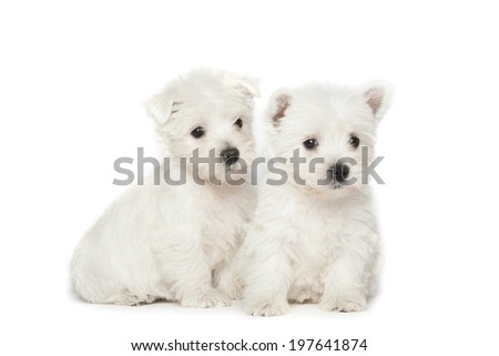 West Highland White Terrier puppies isolated over white background - stock photo
