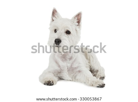 West Highland White Terrier puppy, four months old, lying against white background