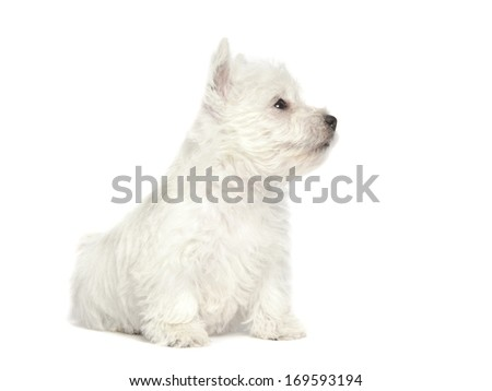 West Highland White Terrier puppy isolated over white background