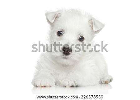 West Highland White Terrier puppy lying on white background