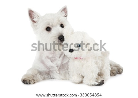West Highland White Terrier puppy lying with a toy dog on white background