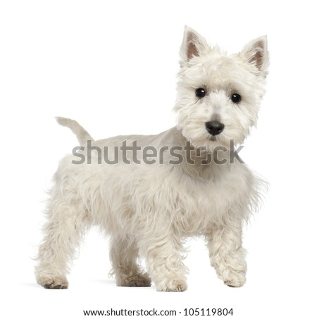 West Highland White Terrier puppy, 6 months old, standing against white background