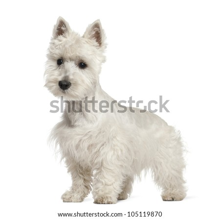 West Highland White Terrier puppy, 6 months old, standing against white background - stock photo