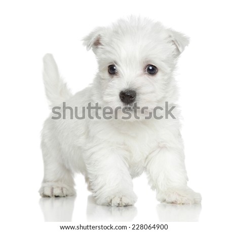 West Highland white terrier puppy on white background - stock photo