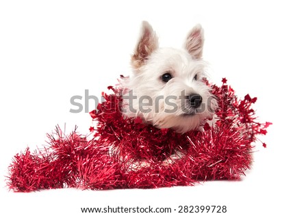West Highland White Terrier puppy on white background - stock photo