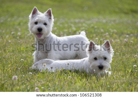 West Highland White Terrier puppys over nature background - stock photo