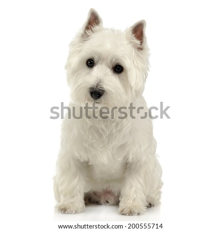 West Highland White Terrier sitting on the white studio floor - stock photo