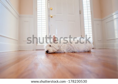 white terrier waiting at the front door of a home - stock photo
