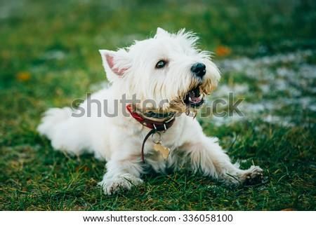 West Highland White Terrier - Westie, Westy Barking Outdoor - stock photo