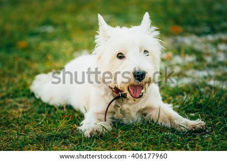 West Highland White Terrier - Westie, Westy Dog Sit in Grass - stock photo