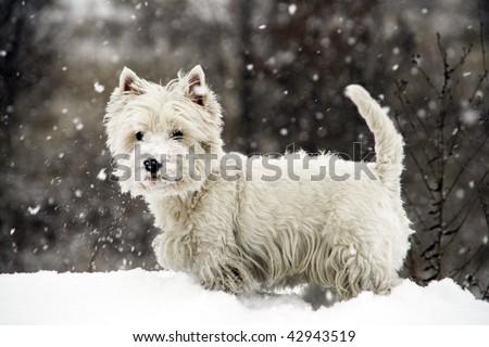 West Highland White Terrier - winter scene - stock photo