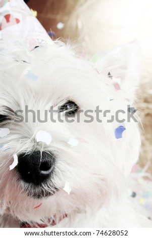 West highland white terrier with birthday party hat .