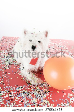 West highland white terrier with confetti and ballon. - stock photo