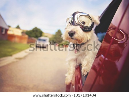 https://thumb1.shutterstock.com/display_pic_with_logo/79405/1017101404/stock-photo-west-highland-white-terrier-with-goggles-on-riding-in-a-car-with-the-window-down-through-an-urban-1017101404.jpg