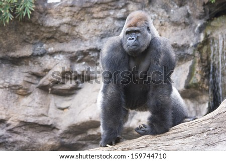 West lowland silverback gorilla on tree in rainforest in black and white - stock photo