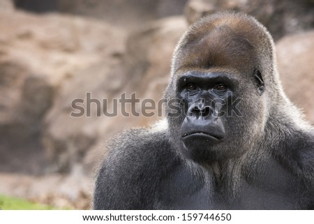 West lowland silverback gorilla profile looking straight towards you