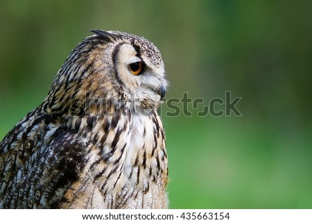 West Siberian eagle owl (Bubo bubo sibiricus) portrait with open beak and green background