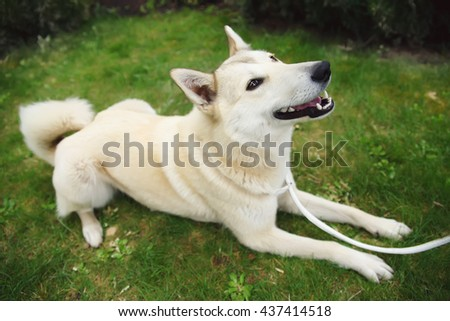 West Siberian Laika dog lying on the grass in the garden