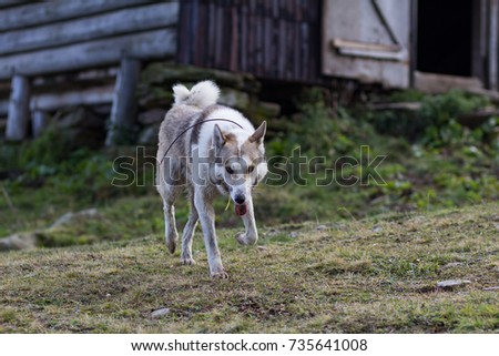 west siberian laika stock images royaltyfree images