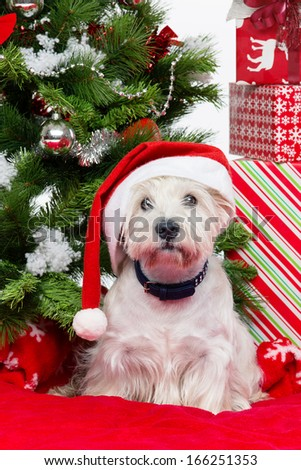 West terrier dog in winter hat lying on red cover surrounded by christmas presents and fir tree