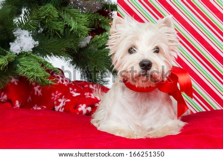 West terrier dog with ribbon bow sitting on red cover surrounded by christmas presents and fir tree