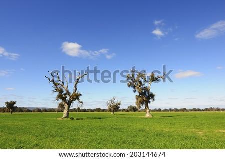 Western Australia - Blue Sky with Dead Tree at Perth, Australia - stock photo