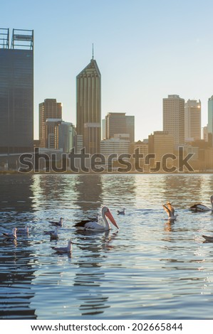 Western Australia - Flamingo on Swan River with Perth City as a background - stock photo