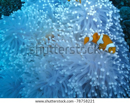 Western clown anemonefish Amphiprion ocellaris - stock photo