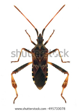 Western conifer seed bug (Leptoglossus occidentalis), an alien species invading Europe